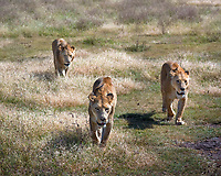 Three thin, very hungry lions prowl the grasslands of Ngorongoro in hte late morning.