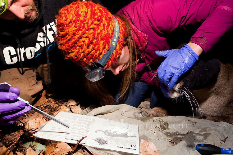 Mountain Lion (Puma concolor) biologists, Chris Fust and Justine Alyssa Smith, examining teeth to determine age of sub-adult male during collaring, Santa Cruz Puma Project, Santa Cruz, Monterey Bay, California