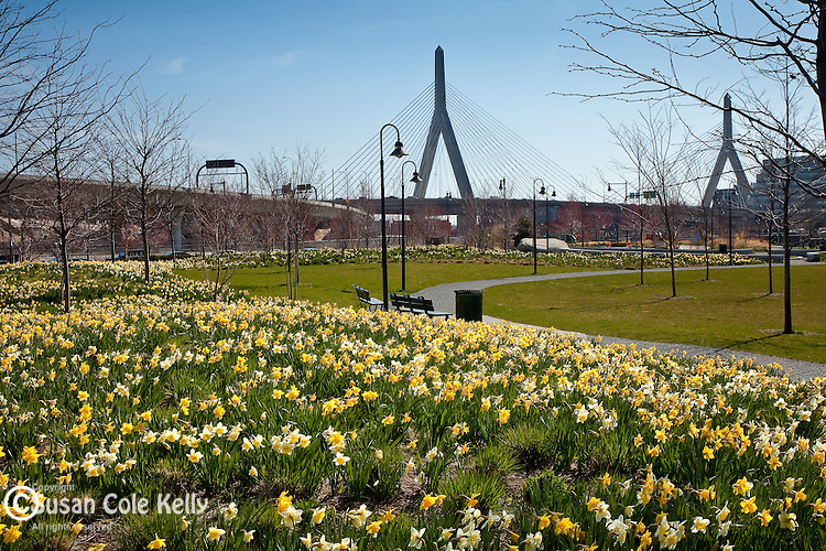 Fields of Daffodils frame the Leonard P. Zakim Memorial Bridge in Cambridge, MA