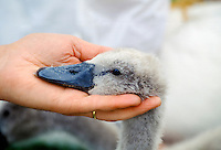 Young cygnet baby swan being examined by vet, UK