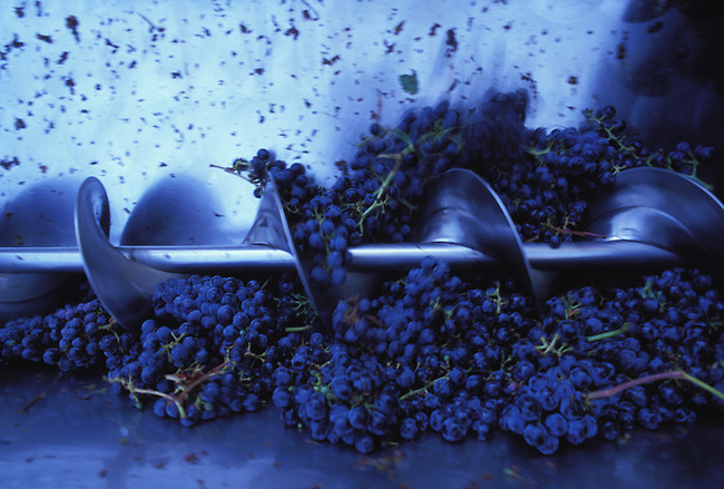 Cabernet grapes going into crusher
