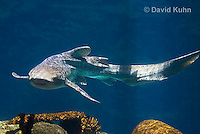 0213-1101  Zebra Shark (Leopard Shark, Carpet Shark), Stegostoma fasciatum (syn. Stegostoma varium)  © David Kuhn/Dwight Kuhn Photography