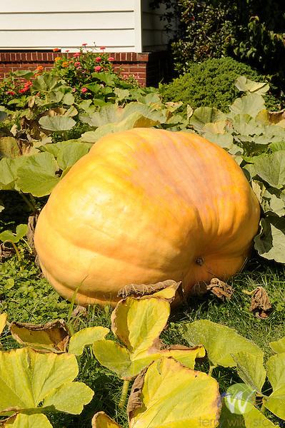 Giant pumpkin in front yard.