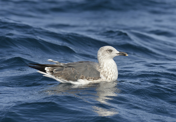 Lesser Black-backed Gull - Larus fuscus - 2nd winter.  L 53-56cm. Similar to Herring Gull but adult has dark grey back and upperwings and bright yellow legs. Note, confusion possible with adult Yellow-legged (upperparts paler). Sexes are similar. Adult in summer has dark grey back and upperwings. Black wingtips are darker than rest of upperwing except for white trailing edge; plumage is otherwise white. Bill is yellow with orange spot. Iris is yellow and orbital ring is red. In winter, similar but with streaks on head and neck, and duller leg and bill colours. Juvenile and 1st winter have streaked and mottled grey-brown plumage, palest on head. Upperwings dark brown and whitish tail is dark-tipped. Eye and bill are dark. Adult plumage acquired over 3 years. 2nd winter similar to 1st winter but with grey back, pinkish legs and dark-tipped pink bill; 3rd winter resembles heavily streaked winter adult. Voice Utters a distinctive kyaoo and anxious ga-ka-ka. Status Locally common in summer, nesting colonially on seacliffs and islands. Most migrate S to Mediterranean outside breeding season; small numbers remain, often roosting on reservoirs.
