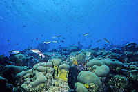 Bonaire coral reef with star coral, Montastrea, Caribbean