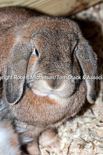 Mini Lop-ear Rabbit medium shot, vertical