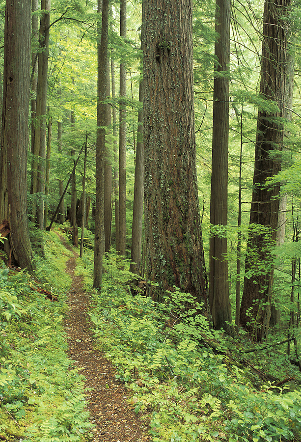 Trail through old growth forest, Downey Creek Trail, Cascade Mountains, Washington