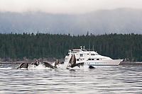 humpback whales, Megaptera novaeangliae, co-operatively bubble-net feeding near the Safari Quest, Chatham Strait, Alaska, USA, Pacific Ocean