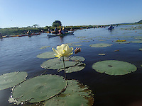 Water lilies on a Mississippi River slough.