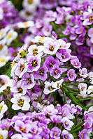 Danziger - Lavender Stream, Lobularia, Sweet Alyssum fragrant annual flower
