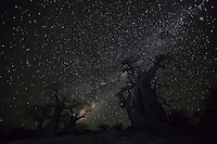 Baobab trees at night