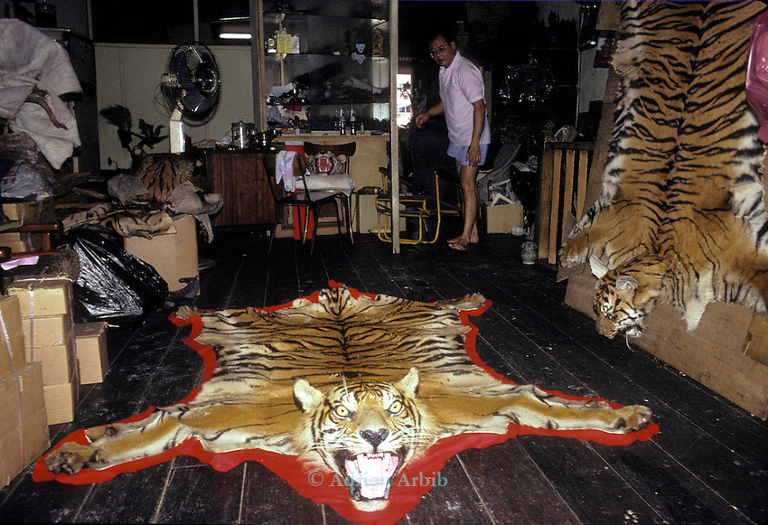 Sumatran Tiger skins in a Singapore skin  trader's shop.  ..This man claimed that he could supply 15 skins a month  which  effectively would wipe out  the entire Sumatran Tiger population.