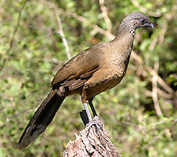 Adult plain chachalaca in tree. These birds climb and hop through trees and brush rather than fly.