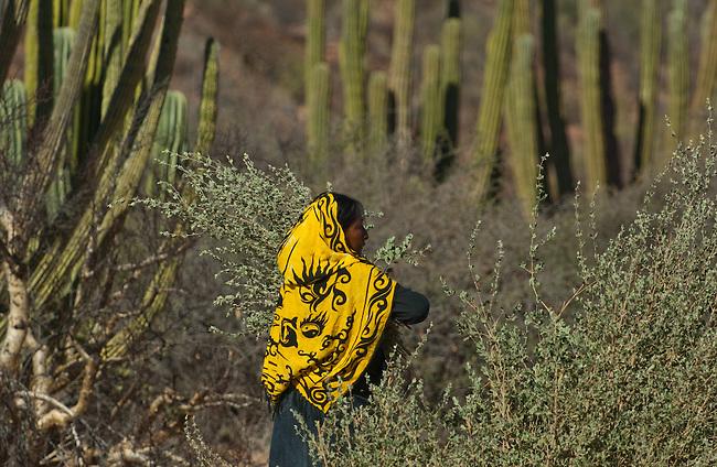 Ana Torres Cubillas harvests desert lavender