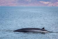 fin whale, Balaenoptera physalus, adult, surfacing, Isla Angel de la Guarda, Baja California, Mexico, Gulf of California, Sea of Cortez, Pacific Ocean
