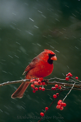 Stunning northern male cardinal perching on tree branch of Ilex berries in snowfall