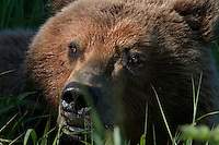 The Kodiak bear (Ursus arctos middendorffi), also known as the Kodiak brown bear or the Alaskan grizzly bear or American brown bear, occupies the coastal areas and islands of the Kodiak Archipelago in South-Western Alaska. It is the largest subspecies of brown bear. <br />
