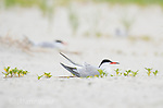 Common Tern (Sterna hirundo), adult in breeding plumage incubating on nest, Nickerson beach, Long Island, New York, USA