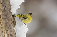 Eurasian Siskin (Carduelis spinus), male perched on snow, Zug, Switzerland, Europe