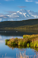 Trumpeter Swans Swim In Wonder Lake, With The Summit Of Mt. Denali, North America's Largest Mountain In The Distance, Denali National Park, Interior, Alaska.