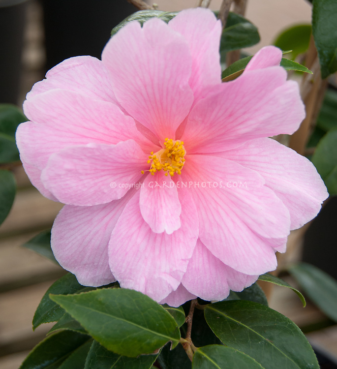 Camellia x williamsii Donation, pink flowered