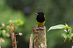 The Black-cowled Oriole, Icterus prosthemelus, ranges from southern Mexico to Panama.  This male is perched on a wooden post in Costa Rica.