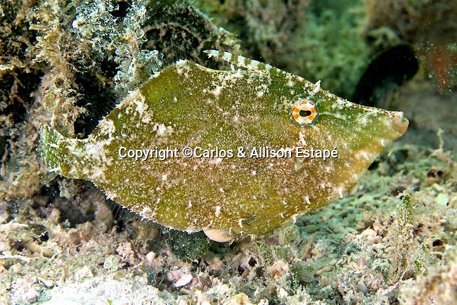 Monacanthus ciliatus, Fringed filefish, Florida Keys