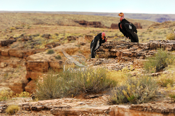 California Condors (Gymnogyps californianus) near Marble Canyon (Colorado River), Grand Canyon National Park, Arizona.