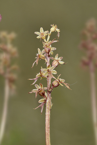 Lesser Twayblade - Listera cordata