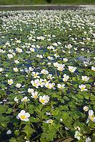 Schild-Wasserhahnenfuß, Schildwasserhahnenfuß, Schild-Wasserhahnenfuss, Schildwasserhahnenfuss, Ranunculus peltatus, Ranunculus aquatilis peltatus, Pond Water-crowfoot, Pond Water crowfoot