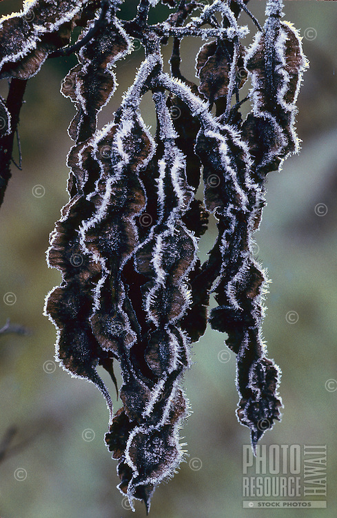 Frost on mamane tree pods. This tree is native and is an important source of food for the native endangered palila bird