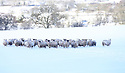 Sheep look for food in a snow covered field high on the hills roads around Belfast, Northern Ireland, Thursday Jan 29th, 2015. A 130 schools where forced to close due to the weather along with bus services. Photo/Paul McErlane