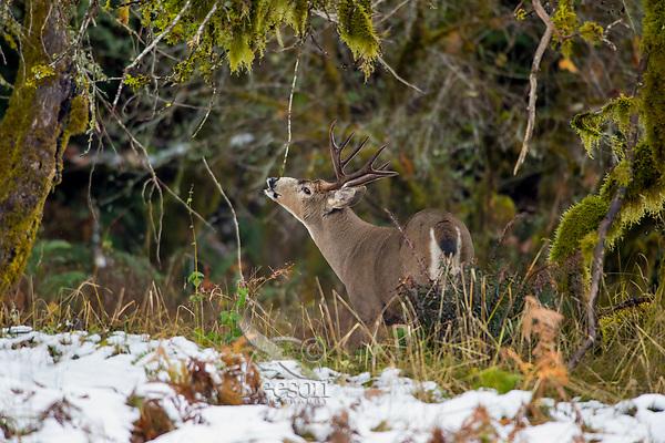 Coastal Black-tailed Deer Buck or Columbian black-tailed deer buck (Odocoileus hemionus columbianus).  Late Fall, Pacific Northwest.