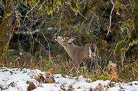 Coastal Black-tailed Deer Buck or Columbian black-tailed deer buck (Odocoileus hemionus columbianus).  Late Fall, Pacific Northwest.