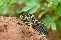 Painted Locust (Schistocerca melanocera) mating in the Galapagos Island Archipelago, Ecuador.
