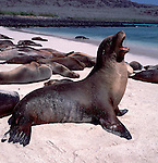 Sealion cow, sitting up, calling.Galapagos....