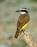 Great Kiskadee, South Texas