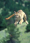 Jumping, Mountain Lion, Felis concolor, controlled conditions
