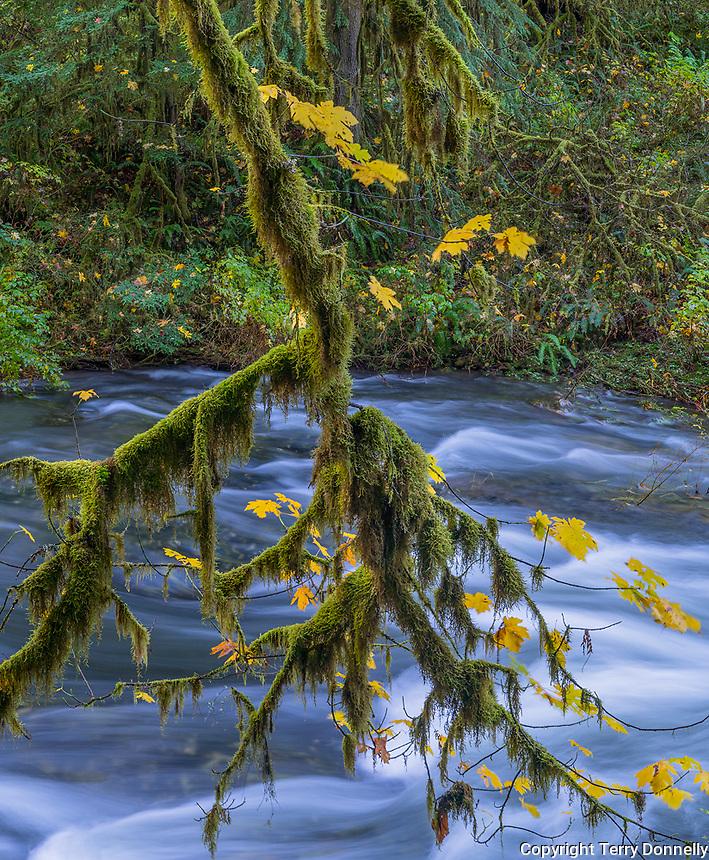 Silver Falls State Park, Oregon:<br /> Stream patterns with mossy bigleaf maple (acer macrophyllum) branch