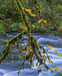 Silver Falls State Park, Oregon:<br /> Stream patterns with mossy bigleaf maple (acer macrophyllum) branch
