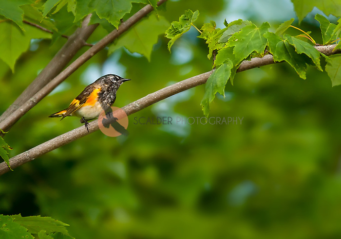 Male American Redstart perched in tree in MooseHorn Wildlife Refuge.