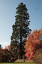 Giant sequoia (Sequoiadendron giganteum) and Nyssa sylvatica, late October.