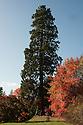 Giant sequoia (Sequoiadendron giganteum) and Nyssa sylvatica, late October.