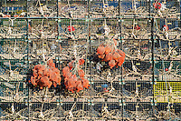 Colorful stack of lobster traps, Jonesport, Maine, USA