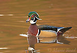 Wood Duck (Aix sponsa), male swimming in fall color reflection, Ohio, USA