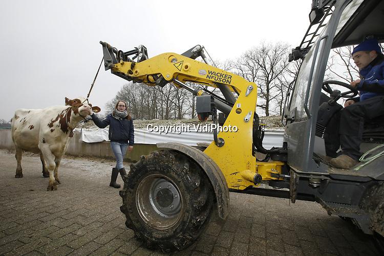 Foto: VidiPhoto<br /> <br /> PUTTEN - Melkproducente Frisian 30050 van veehouder  Aalt van Kempen uit Putten is vrijdag voor het eerst buiten en om het dier in bedwang te houden is een shovel nodig. Het dier moet rustig leren lopen, zodat ze straks zonder problemen voorgeleid kan worden op de fokveedag in maart in Putten. De grote en bekende Paasveetententoonstelling wordt mede georganiseerd door 48 leerlingen van het Groenhorst Barneveld, een school voor agrarisch onderwijs. Voordat de koeien voorgeleid worden, krijgen ze eerst een 'opleiding' van de studenten. Die op hun beurt kregen vrijdag les van de bekendste cowfitter van Nederland Egbert Puttenstein over hoe ze een koe moeten toiletteren, oftewel het scheren, wassen en opleuken van een koe zodat deze er op haar Paasbest uitziet.