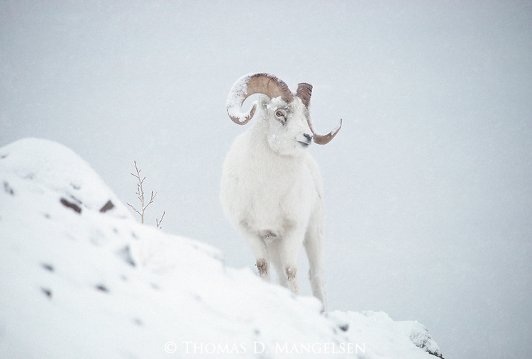 A Dall sheep stands on a snowy hillside in Kluane National Park, Yukon Territory in Canada.