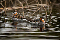 Red-necked Phalarope, Southcentral Alaska.
