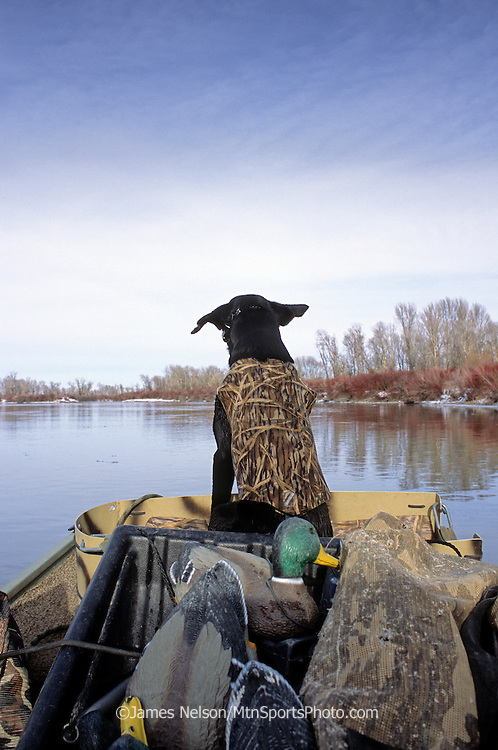 34-719. A black Labrador retriever sits in the front of a boat during a waterfowl hunt on the Snake River, Idaho.