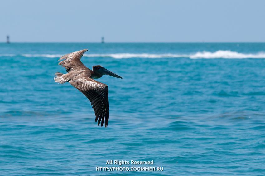 Pelican flying over the ocean near Key West, Fl